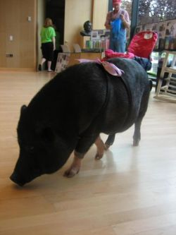 Daisy_the_Pig_091308__4_.jpg