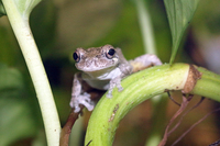 Aquar.gray_tree_frog.jpg
