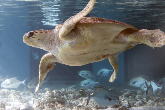 Maritime Aquarium asks for boater caution after 2 sea turtles killed by propellers in last month in LIS